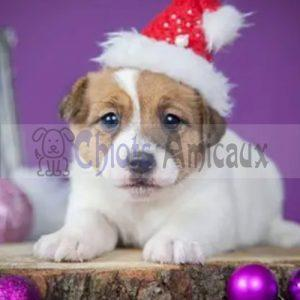 Chiots Jack Russell Terrier a vendre Femelle 10 semaines